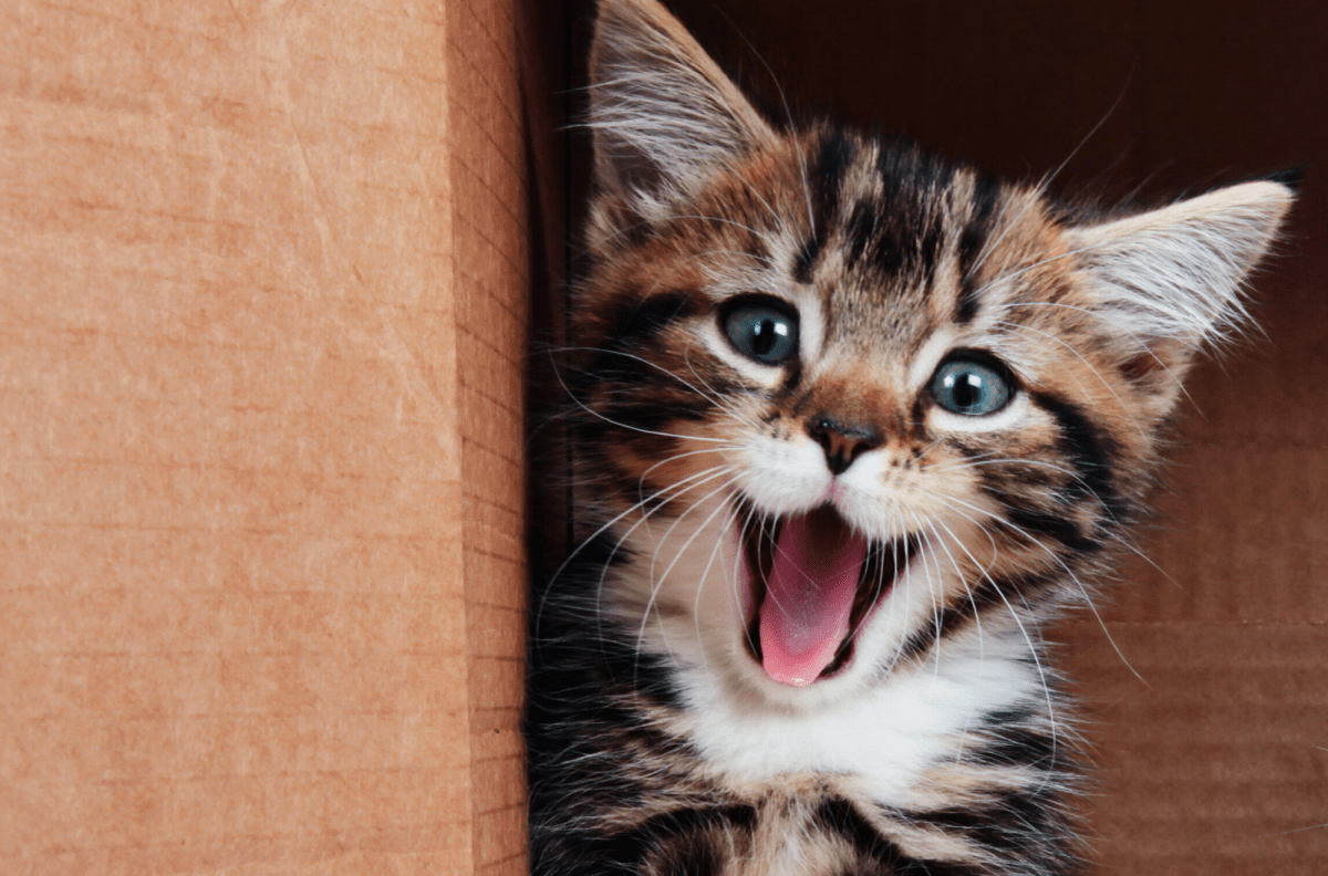 Kitten Adoption Event At Renton Petsmart